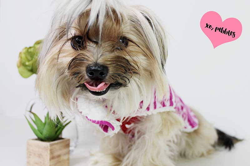 Pebbles the Shorkie
