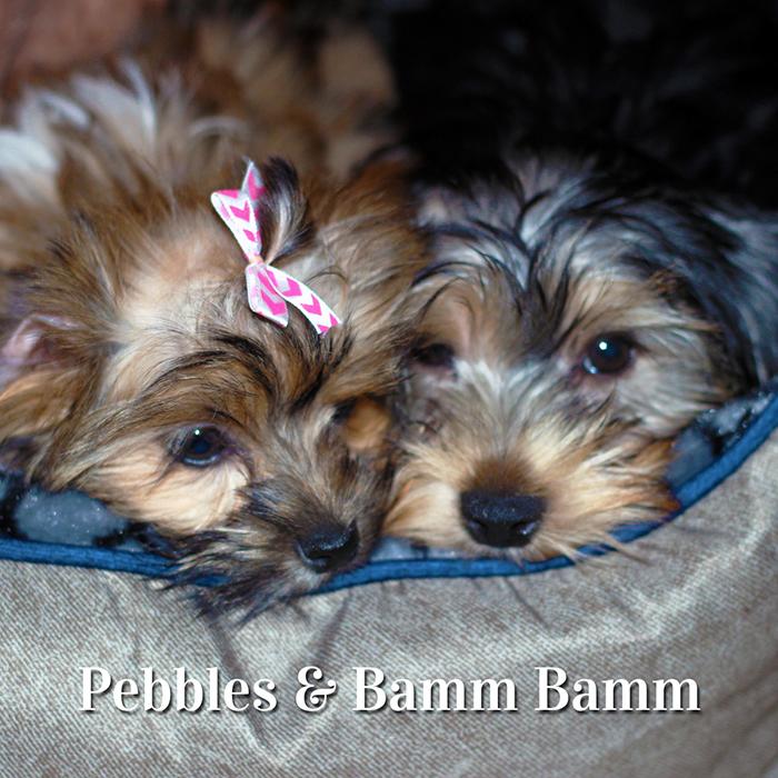 Pebbles, Bamm Bamm, Shorkie