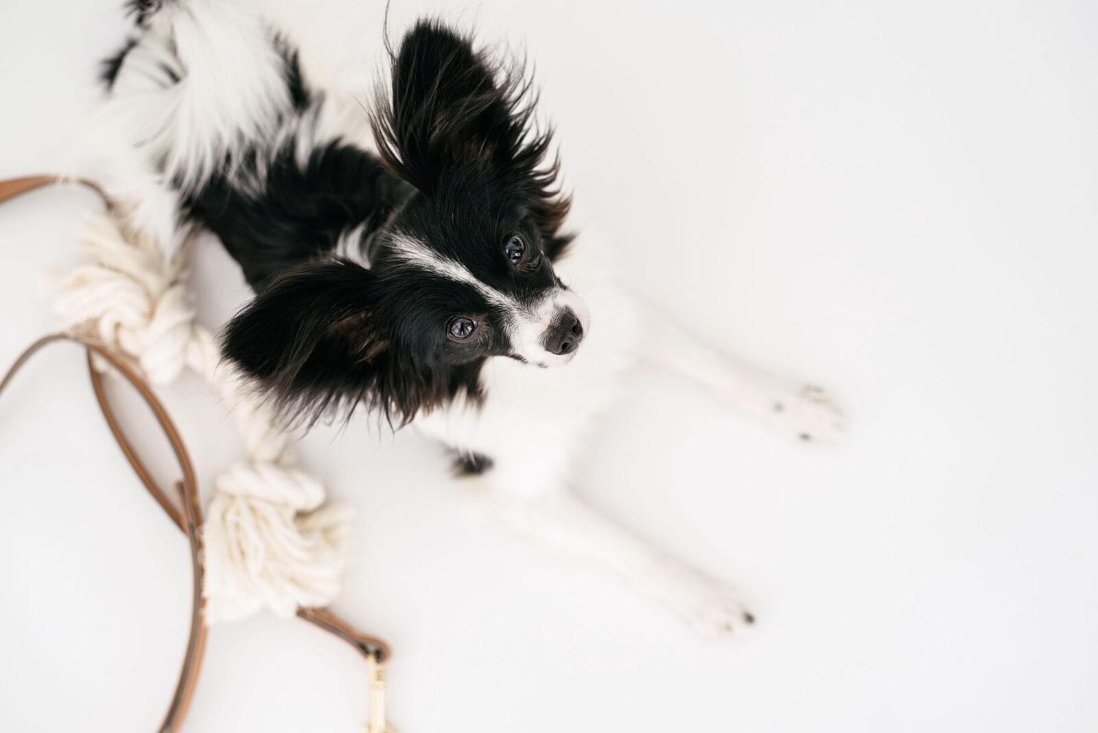 pet dog animal